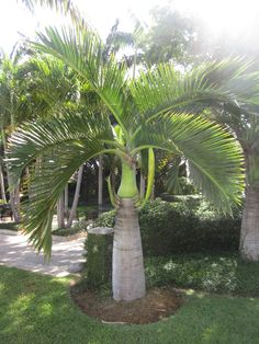 Nice tropical palm for areas suited for vertical elements of smaller scaleHyophorbe verschaffeltii, Spindle Palm. Nice tropical palm for areas suited for vertical elements of smaller scale Palm Trees Landscaping, Front House Landscaping, Florida Landscaping, Tropical Landscaping, Palm Garden, Garden Trees, Trees To Plant, Garden Plants, Colorful Plants