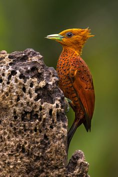 Chestnut-colored Woodpecker - Female. They are found in Mexico, Costa Rica, Honduras, Guatemala, Belize, Panama and Nicaragua