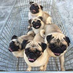 Learn On How To Tell A Fake Pug Breeder From A Good One - http://weloveourpugs.net/learn-tell-fake-pug-breeder-good-one/
