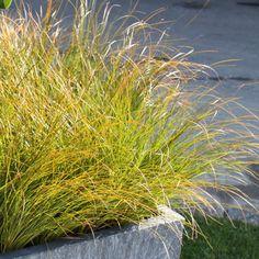 Bronze-Segge - Carex testacea