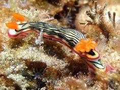 The Sea Slug Forum - Hypselodoris nigrolineata