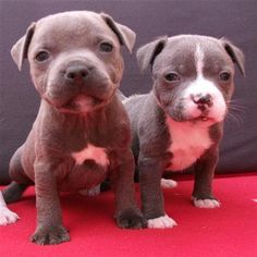 American Staffordshire Terrier Puppies  ... you dont know love till you own a staffy