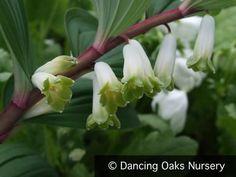 Perennials - Polygonatum Odoratum V. Pluriflorum 'Jinguji', Red Stem Solomon's Seal