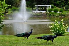 Our peacocks roam freely, but are quite friendly and photogenic! Birch Hill Events #Weddings #Albany #NY