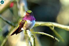 ☎️ https://www.facebook.com/WonderBirdSpecies/ ☎️☎️ Volcano hummingbird (Selasphorus flammula); Costa Rica and Panama;  IUCN Red List of Threatened Species 3.1 : Least Concern (LC)(Loài ít quan tâm)  Chim ruồi núi lửa; Costa Rica và Panama; HỌ CHIM RUỒI - TROCHILIDAE (Hummingbirds).