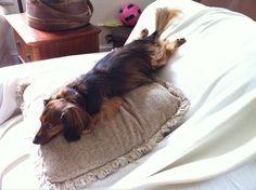 Skittles on the slide.. apparently he loves to sleep like this :) - via I love Dachshunds