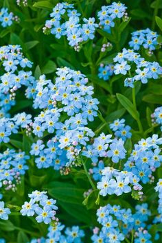 Forget-Me-Nots are a lovely flower to add to your garden. Among many other lovely characteristics, these blue blooms are the Alaskan state flower.