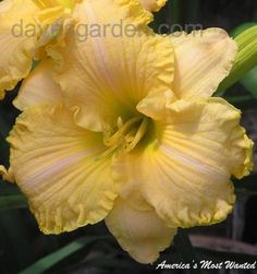 View picture of Daylily 'America's Most Wanted' (Hemerocallis) at Dave's Garden.  All pictures are contributed by our community.