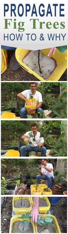 How to Propagate Fig Trees - My neighbor has been a Master Gardener for a long time. He shared with me how to propagate some cuttings from his Fig Tree.