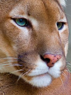 The cougar (Puma concolor) also known as the puma mountain lion panther or catamount is a large cat of the family Felidae native to the Americas. Animal Pictures, Most Beautiful Animals, Beautiful Cats, Beautiful Creatures, Primates, Mammals, Animals And Pets, Cute Animals, Mountain Lion