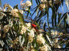 Scarlet honeyeater feeding on forest red gum flowers