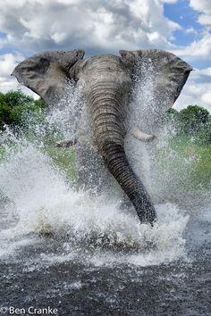 male African elephant taking a bath