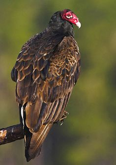 Turkey Vulture - So many people can't appreciate their unique beauty.