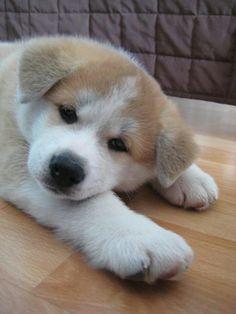 Sooo tired! Japanese Akita, Japanese Dogs, Animals And Pets, Cute Animals, Japon Tokyo, American Akita, Hachiko, Akita Dog, Shiba Inu