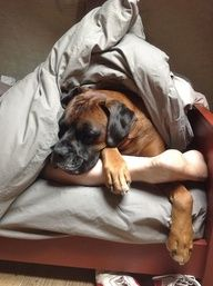 Biggest Issues of Owning a Boxer | Boxer Fan Club