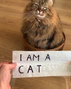 Funny Animal Jokes, Funny Animal Videos, Funny Animal Pictures, Cute Funny Animals, Cute Cats, Funny Cats, Weird Cats, Videos Funny, Baby Cats