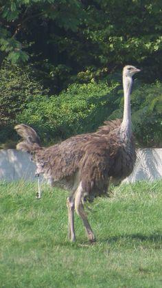 ostrich toledo zoo