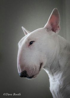 english bull terrier reminds me of Pharrell Williams....Love it!