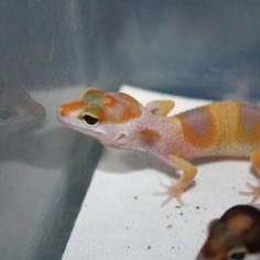 Geckos Reptiles, Lizards, Amphibians, Aggressive Animals, Chameleon Lizard, Ball Python Morphs, Leopard Geckos, Terrarium, Bordeaux