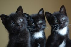 I want to get another black cat. Little Kittens, Cute Cats And Kittens, Cool Cats, Kittens Cutest, Pretty Cats, Beautiful Cats, Animals Beautiful, Animals And Pets, Baby Animals