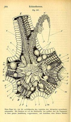 Anatomy of a starfish    From: Lehrbuch der praktischen vergleichenden Anatomie by Vogt, Karl Christoph and Yung, Émile