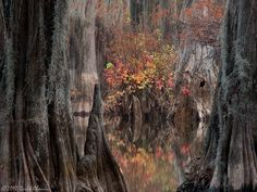 Two large trunks frame a splash of fall color in the cypress swamps.