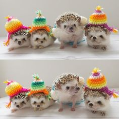As far as pets go, it is the African pygmy hedgehog that is the most popular. These hedgehogs have a lifespan of around. Happy Hedgehog, Cute Hedgehog, Hedgehog Facts, Cute Little Animals, Cute Funny Animals, Zoo Animals, Animals And Pets, Pygmy Hedgehog, Hamster
