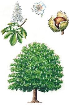 marronnier d'inde - aesculus hippocastanum