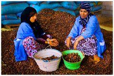 Berberyjskie kobiety ręcznie zbierają orzechy najwyższej jakości.