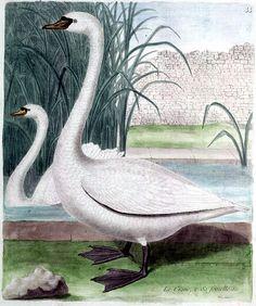 Vintage Bird Illustration, French, White swan
