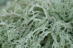 """Lace Lichen (Ramalina menziesii), is a combination of fungus and algae. Often called """"Spanish Moss."""""""