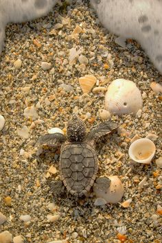 sunflowersandsearchinghearts:    Pinterest - Baby Turtle Heading to Waves via Searching Hearts