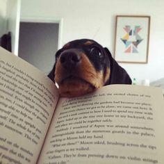 Whatcha doin' ??? - @pippa.percy.dachshunds #Hugadachshund #dachshund #dachshunds #dachshundoftheday #dachshundsofinstagram #dachshundlove #doxie #doxies #doxiesofinstagram #doxielove #sausagedog #sausagedogs #wienerdog #dog #dogs #dogsofinstagram #dogoftheday #instagramdogs #photooftheday #picoftheday #instadaily #loveit #dogstagram #weinerdog #dachshundsonly #doxiefever #sausagedogsofinstagram #doxieobsessed #dachshundlife #dachshundlover