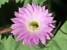 """Schick Echinopsis Hybride """" Lochinvar """" blühfähige Pflanze"""