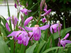Bletilla striata (Chinese Ground Orchid) deciduous in winter. (under rhododendron along western fence). Still not blooming.