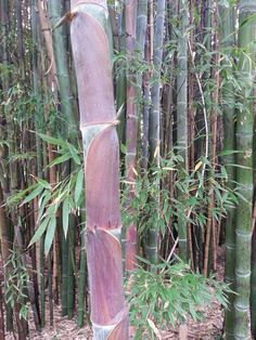 Bamboo in Golden Gate Park, by sharonlgrace