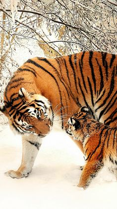 Mama tiger and her cub