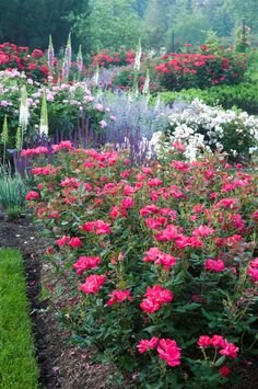 *Knock Out Roses and Perennials - Morris Arboretum, Philadelphia.  Gorgeous!