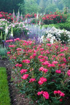 *Knock Out Roses and Perennials - Morris Arboretum, Philadelphia.  Gorgeous!