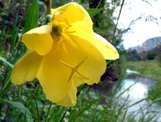 A Fogotten Tonic Herb: Evening Primrose » The Medicine Woman's Roots