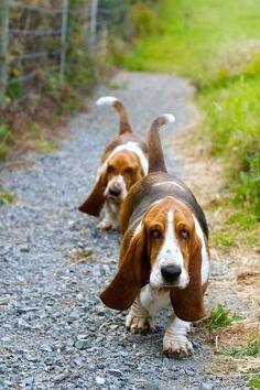 I just love basset hounds