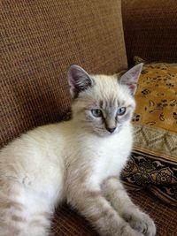 Feral lynx point kitten