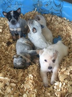 Red and Blue heelers