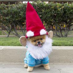 Cutest Pomeranian Garden Gnome Ever.