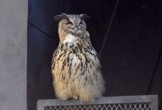 Eurasian Eagle owl in middle of Helsinki