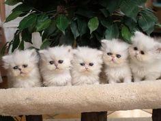 Adorables chatons persans à réserver