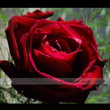 1 Pack profesional, 50 semillas / paquete, hojas delgadas Blood Red flores de la herencia rara semilla flor de Rose #NF419(China (Mainland))