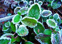 Frost on Salal Leaves - Shoreline Trail, Port Moody, B.C. - January, 2008