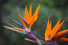 No matter where you live, you can quickly bring a taste of the tropics to your indoor or outdoor garden by growing bird of paradise. Known botanically as Strelitzia reginae, this colorful, eye-catching plant lights up any garden. Bird of Paradise Features Showy bird of paradise flowers consist of orange, blue and white, which form to resemble an exotic bird's beak. There's also a variety that has all white flowers.