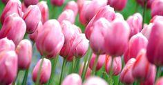 Tulipas embelezam os jardins do parque Keukenhof, a 30 km de Amsterdã